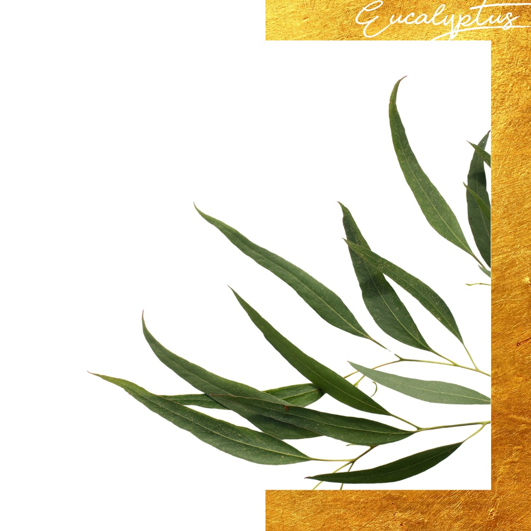 Eucalyptus leaves